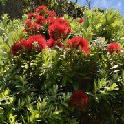 Baum mit lorbeerähnlichen Blättern und puscheligen roten Blüten