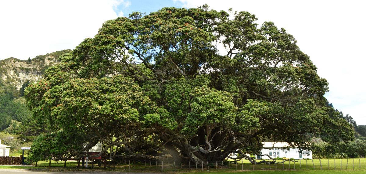 Großer Pohutukawa mit weit ausladender Krone