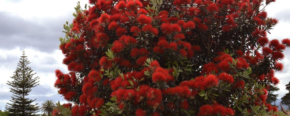 Krone eines Pohutukawa mit zahllosen roten Pinselblüten