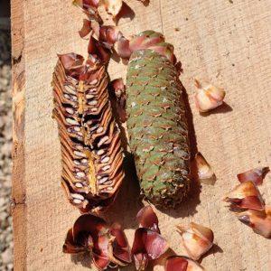 Grüner Zapfen und aufgeschnittener Zapfen