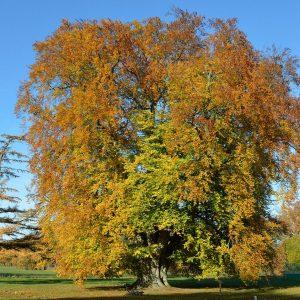 Alter riesieger Baum mit dicken Stamm im Herbst
