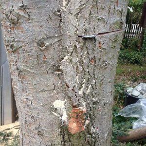 Stamm eines Baumes der in zwei Teilen weiterwächst