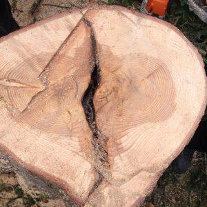 Stammscheibe eines Baumes mit zwei Kernen
