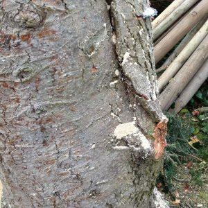 Ausbeulung und abgebrochener Ast an einem Holzstamm