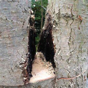 Aufgeschnittener Holzstamm mit schwarzen fauligen Stellen im inneren