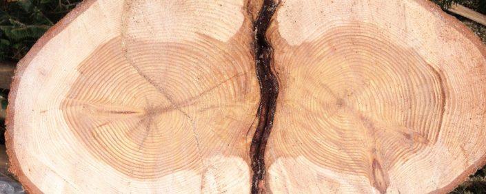 Zwei dicht beieinander stehende Baumscheiben eines Zwiesels