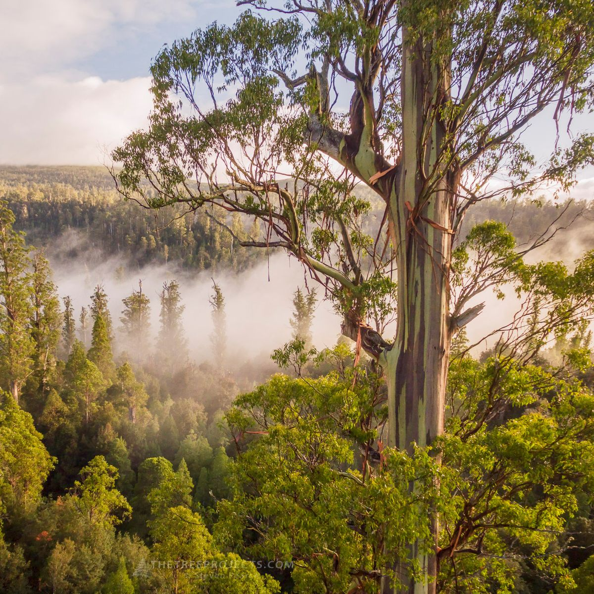 The Tasmanian Tree Project