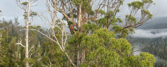 Hoch über dem Dschungel klettert ein Mann durch die Krone eines Eukalyptus