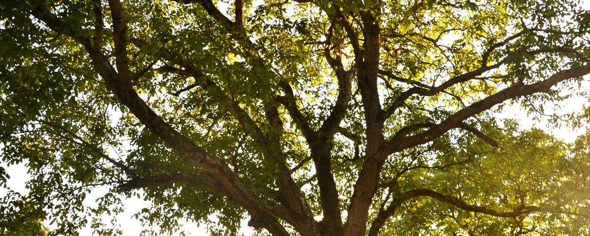 Schnittzeit und Schnittmethode bei Walnuss Teil 2: Auslichtungsschnitt bei Walnussbaum