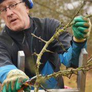 Baumpfleger schneidet einen Ast von einem Apfelbaum ab.