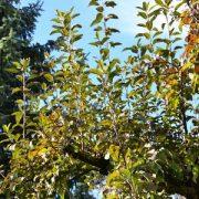 Zweige eines Apfelbaumes