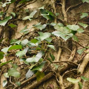 Efeuranken an einem Baumsatmm