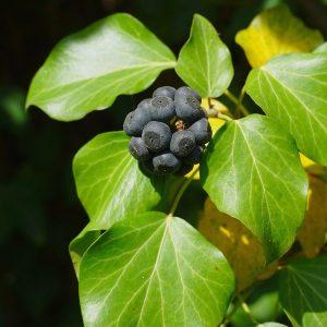 Grüne Blätter und kugelförmig geballte Beeren eines Efeus
