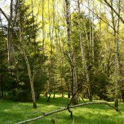 Waldbestand aus Fichten, Birken und anderen Laubbäumen im Frühling