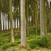 Wald nur aus alten Fichten mit flächigen kleinen Fichten unten drunter.