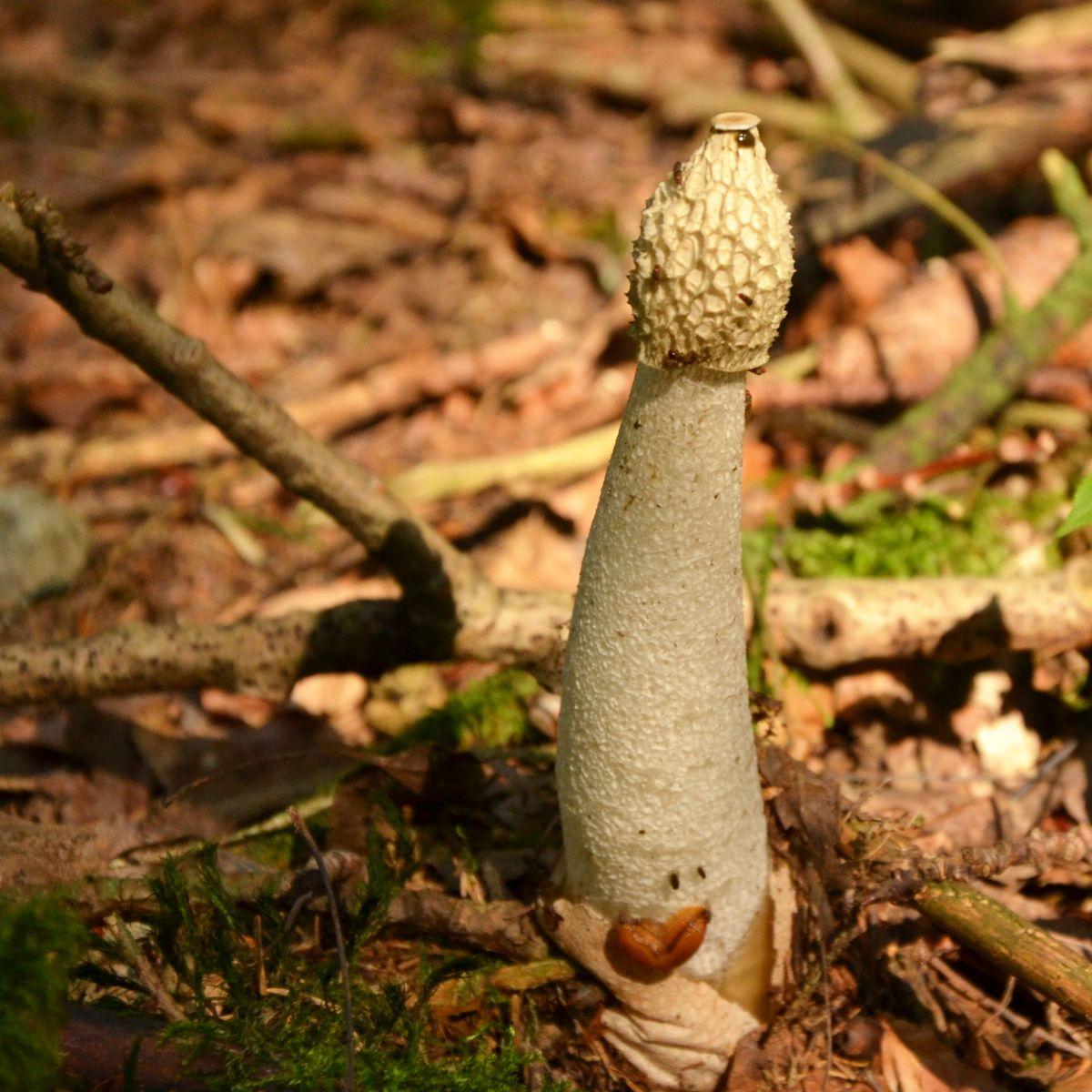 Weißer schlanker Pilz auf dem Waldboden
