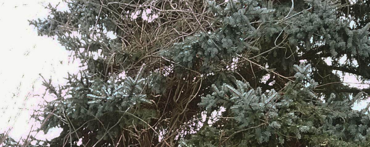Zweige einer Stechfichte sind stark mit Blaurregenranken durchwachsen