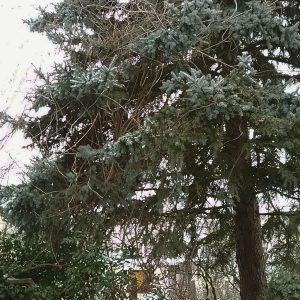 Ranken eines Blauregens durchwachsen die Zweige einer Stechichte