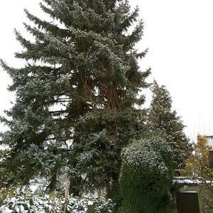 Schneebedeckte Stechfichte in einem Garten