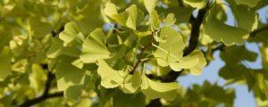 Zweig und Blätter eines Ginkgo Baumes
