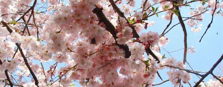 Rosafarbene Blüten, dichtgedrängt am Zweig