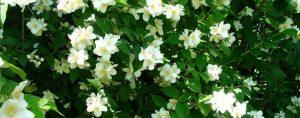 Weiße Blüten an einem Strauch