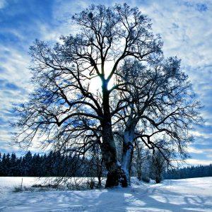 Mächtige Linde mit zwei Stämmen im verschneiten Winter