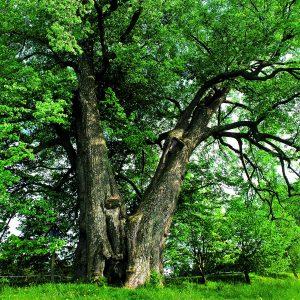 Alte Linde, die sich in zwei Stämme zwieselt, zwischen kleinen Bäumen