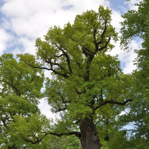 Große Baumkrone mit frischen hellgrünen Blättern im Frühling