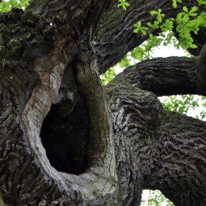 Zwischen mächtigen Ästen klafft ein großes Loch im Baum