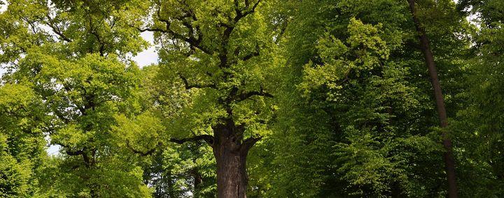 Waldstück mit einer dicken Eiche im Zentrum