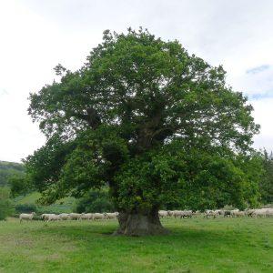 Um eine dicke alte Eiche wandert eine Schafsherd