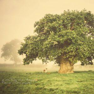 Alter Eichenbaum mit runder Krone auf einer Wiese