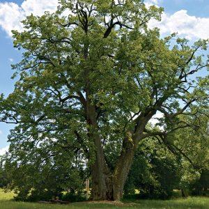 Großer alter Baum der sich nach wenigen Metern in zwei dicke Stämme verzweigt