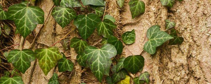 Dreieckig gelappte Blätter an einen hellbraunem Stamm