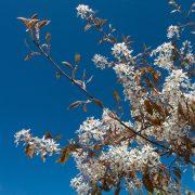 Zweige eines Baumes mit weißen Blüten und wenigen bräunlichen Blättern