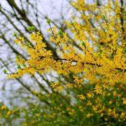 Zweig eines Strauches mit gelben Blüten und kleinen grünen Blättern an den Spitzen