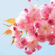 Vielblättrige rosafarbene Blüten dichtgedrängt an einem Ast