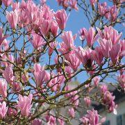 Große lange Blüten in hellrosa an einem Strauch