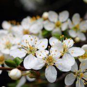 Weiße fünfblättrige Blüten am Zweig