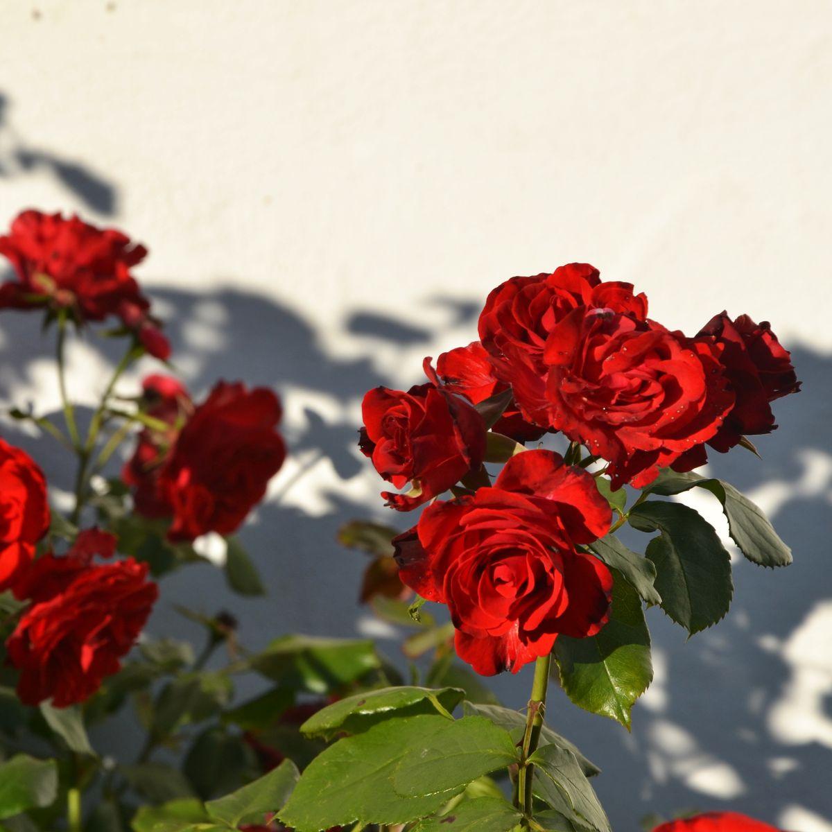 wie schneiden sie ihre rosen im fr hjahr richtig. Black Bedroom Furniture Sets. Home Design Ideas