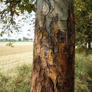 Stamm einer Kastanie mit braunen und schwarzen Flecken, sowie großen Rissen