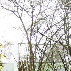 Haselstrauch, bei dem die Hälfte der Stämme abgesägt wurde.