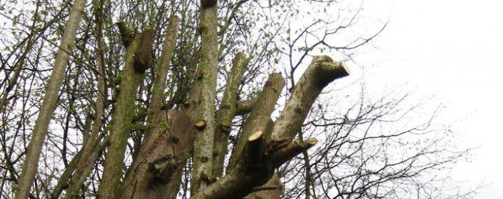 Abgesägte Äste eines Haselnussbaumes