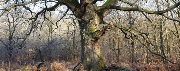 Alte Eiche in einem Wald