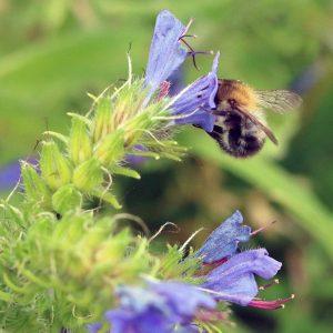 Eine Biene saugt Nektar aus einer Blauen Blüte