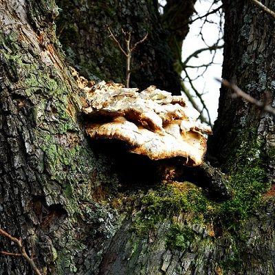 Regelmäßige Baumkontrolle notwendig: Schwefelporling