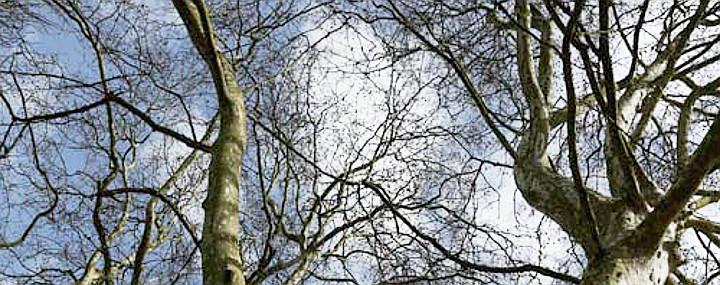 Starke Baumtypen: Platanenallee