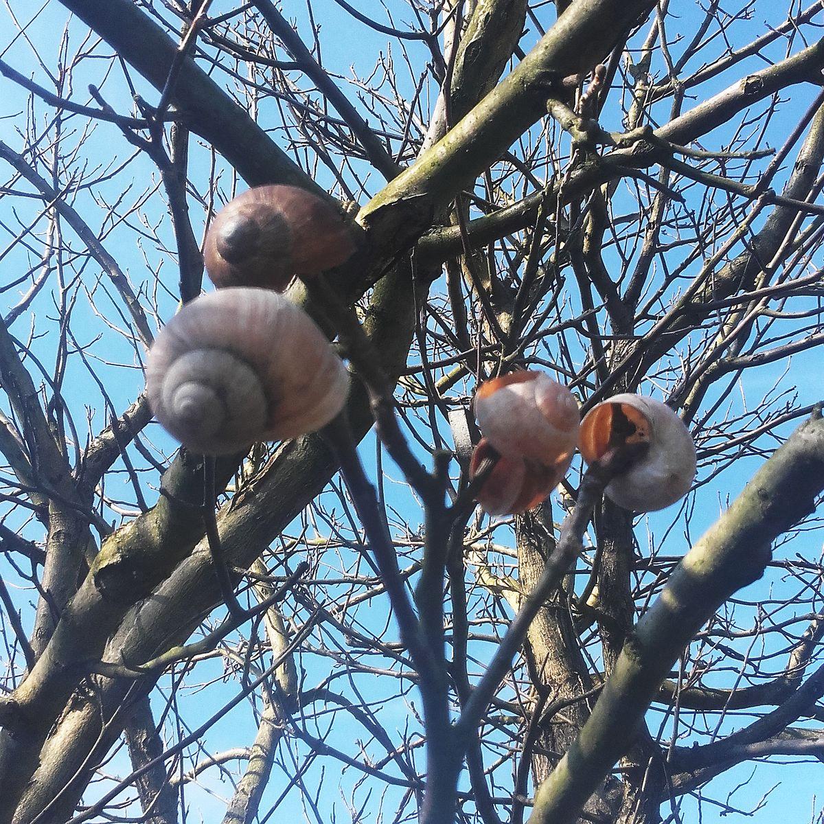 Der Schneckenbaum - Apriloiocus unum (Foto: K. Stein)