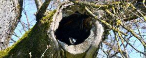 Ausgehölter Ast einem Baum